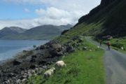 Cykling langs kysten blandt græssende får