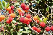 cykelferie Træjordbær