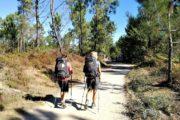 Vandring gennem fyrretræsskov