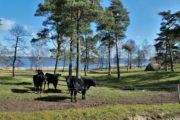 Sort kvæg ved Stubbe Sø