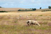 Landmændenes kornmarker støder op til hedelandskaber