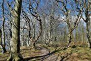 Krogede bøgetræer i Hestehave Skov