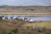 Rondane Nationalpark med rener