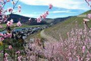 Blomstrende kirsebærtræer og vinmarker på skråningerne