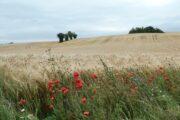 Kornmarker på Mols Bjerge Stiens Kaløetape