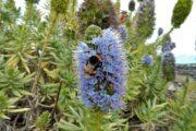 Blomsten Blå Slangehoved - også kaldet Madeiras Stolthed