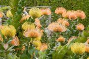 En hel busk af protea-blomster
