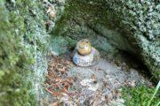 Silketrolden findes ofte gemt i små hulninger i træerne
