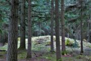 Gravhøjene ligger som perler på en snor i Silkeborg Vesterskov