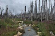 Død skov i Harzen